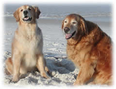 Golden Retrievers Gordy the Wonder Dog and Liberty Belle
